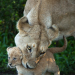 A lioness carefully picks up one of her cubs before carrying it inside the bush.