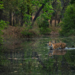 A tigress fondly called Spotty, walking across a rivulet in Bandhavgarh, India.