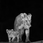 This lioness and her small cub walked out from a small rivulet in Masai Mara.