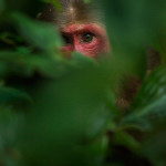 A stump-tailed macaque peeping from the forest floor in Assam, India.