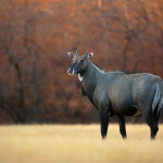 A male Nilgai from the arid forests of Ranthambhore, India.
