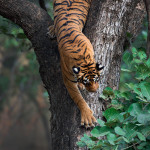 The descending tigress
