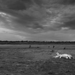 A lioness rests in the marshlands of Ndutu, South Serengeti, as the cloud builds up behind her