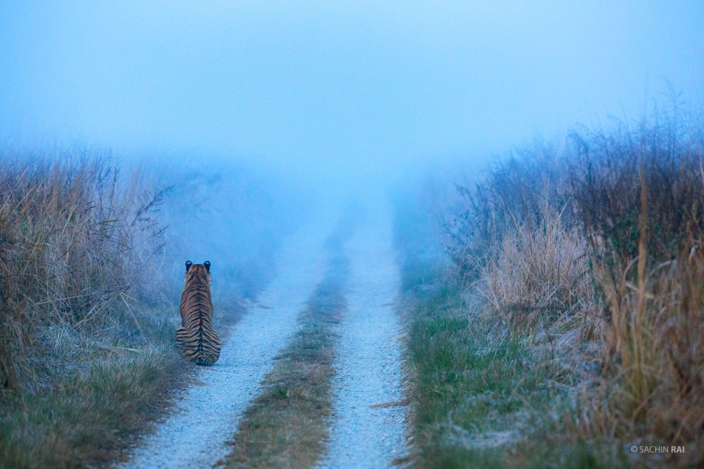 A young tigress sitting on a safari track on a misty morning in Dhikala, Corbett