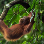 A baby orangutan hanging on a tree in the forests of Borneo.
