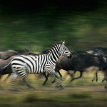 A herd of Zebra and Wildebeest rushing towards the Mara river in Masai Mara.