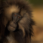 A portrait of a gelada baboon from the mountains of Ethiopia.