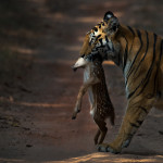 A tigress carrying a deer fawn