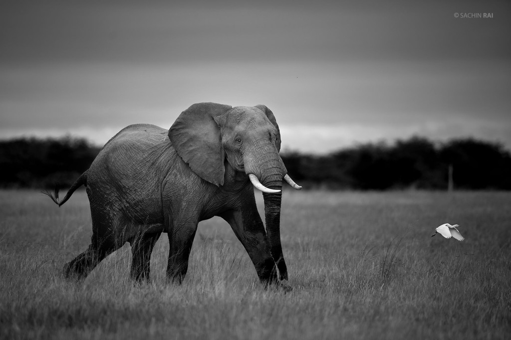 An elephant hurriedly walks in the grasslands of Amboseli, Kenya