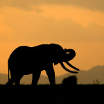 An male elephant silhoutte