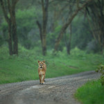 A lioness walking on a the road in Nakuru, Kenya.