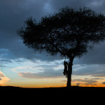 A lioness scrambling down a tree at sunset in Masai Mara.