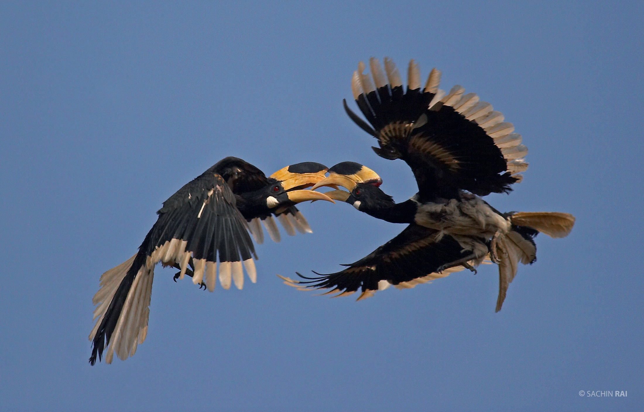 Two male Malabar pied hornbills locking their beaks mid air in Dandeli, Karnataka, India.
