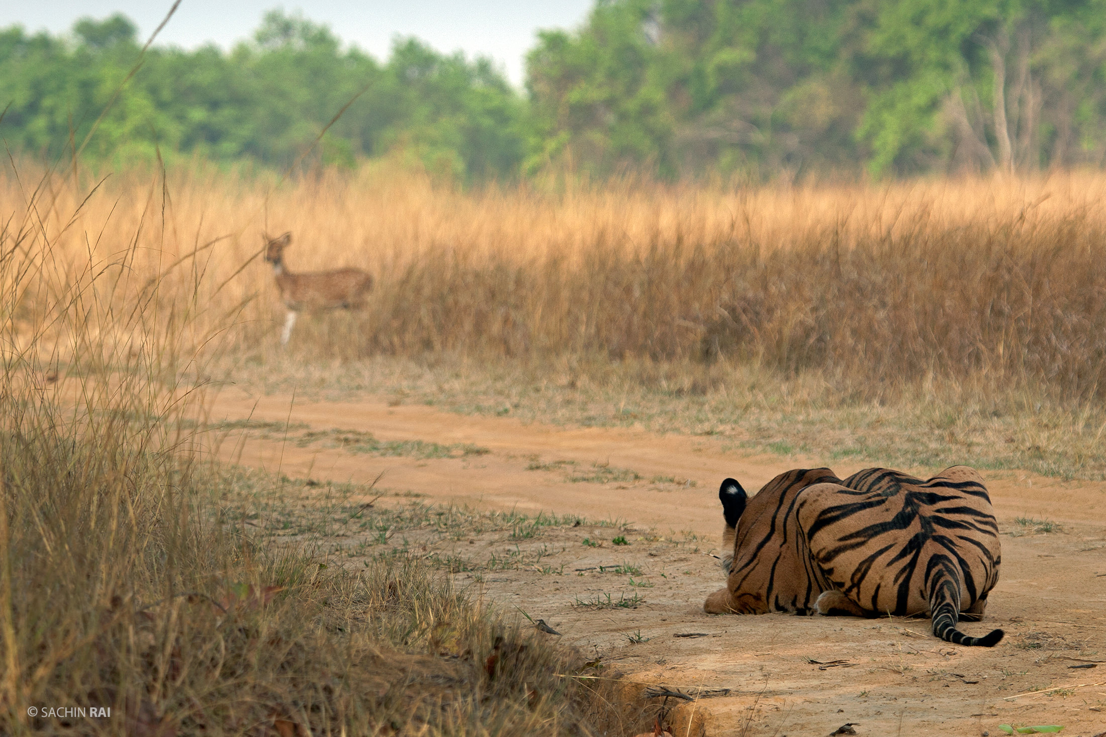 A tiger stalking a spotted deer.