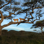 Two lioness atop a tree in Serengeti