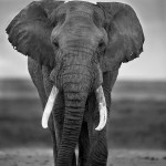 A beautiful male elephant from Amboseli, Kenya