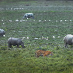 Tiger and Rhinos from Kaziranga